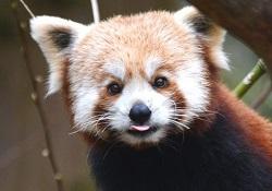 Parc de cleres panda roux